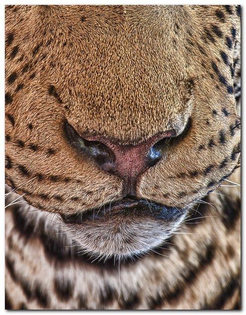 Panthera Pardus alias PP a divatdiktátor